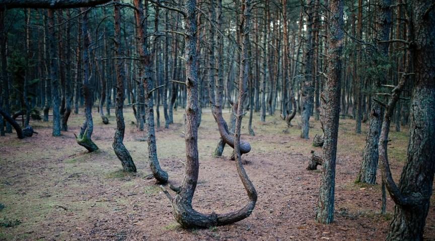 Танцующий лес, Россия